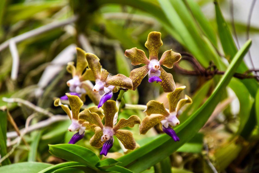 Kandy et son jardin botanique